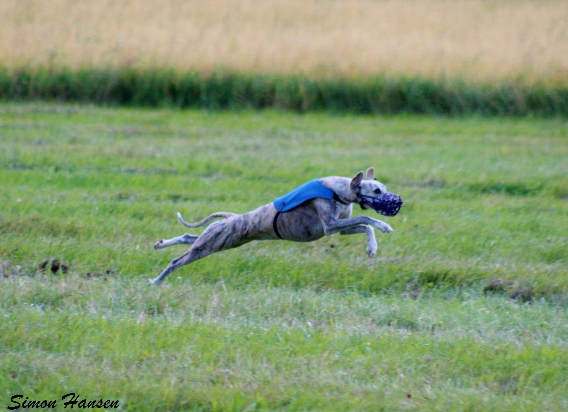 LC Whippet_foto STH